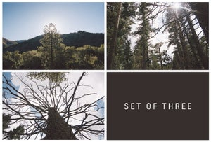 Image of sequoia, set of three.