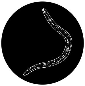 Image of Banana Worm