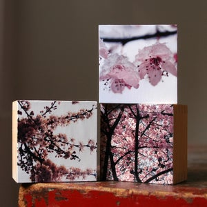 Image of Cherry Blossom Tryptic