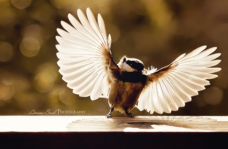 "Image of ""Chickadee Wings Of Light"" Museum Print"