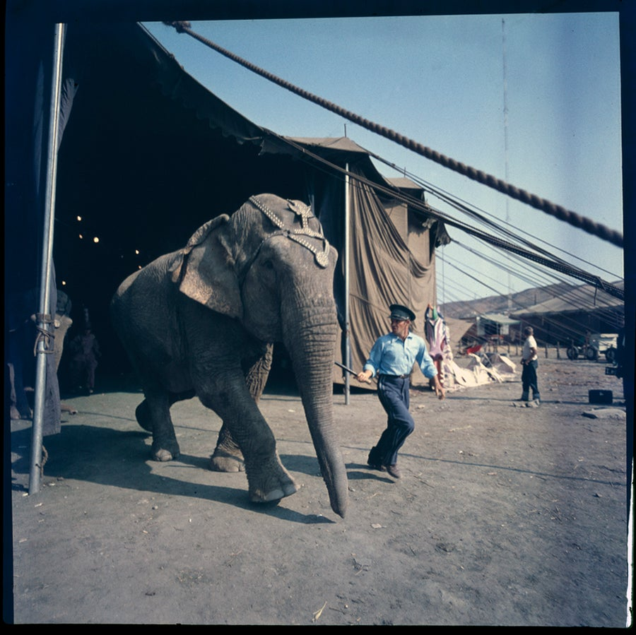 Image of A circus elephant in a rare, color 1940's photograph