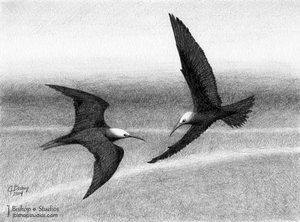 Image of Black Noddy Terns - Original Graphite Drawing - 6 x 8