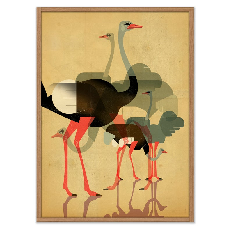 Image of Ostriches