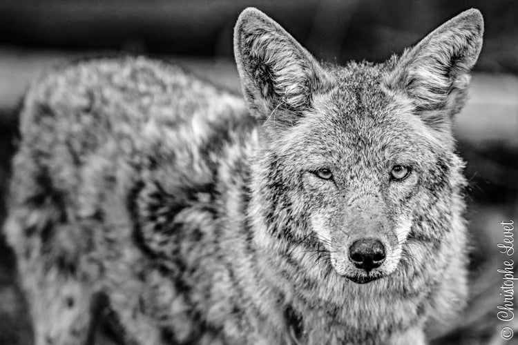 Image of The Coyote