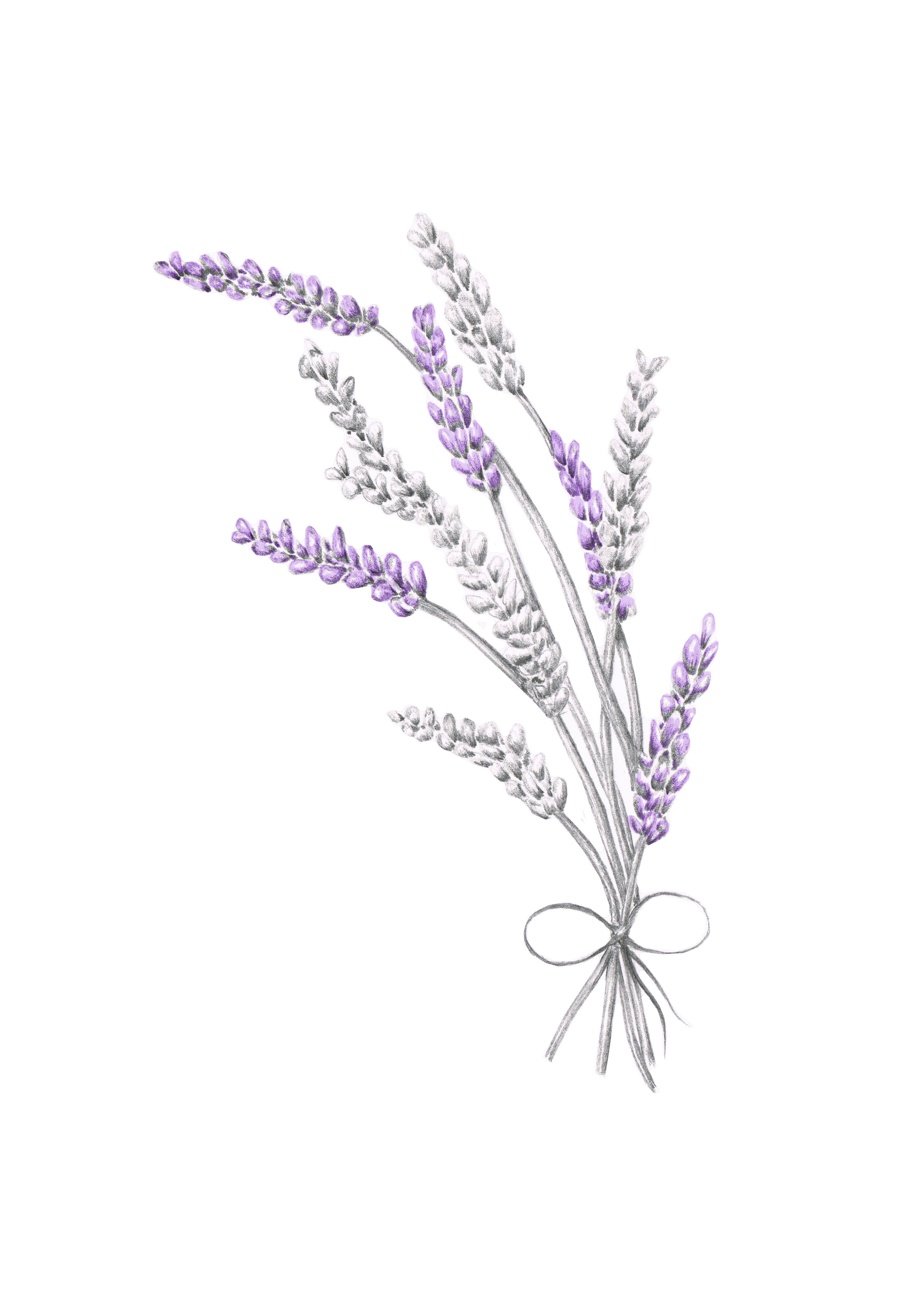 Line Drawing Lavender : The gallery for gt lavender line drawing