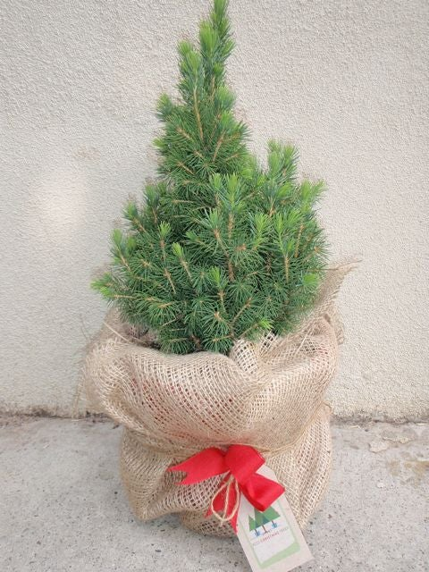 Image of Mini Pine Christmas tree - approx 30 cm tall