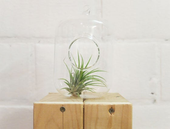 Image of Air plant holder 'oval'