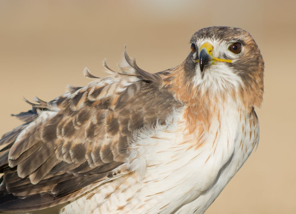 Image of Red Tailed Hawk-11 X 14 Print