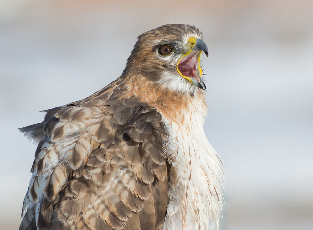 Image of Red Tailed Hawk Two-11 X 14 Print