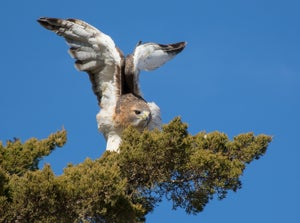 Image of Red Tailed Hawk Three-11 X 14 Print