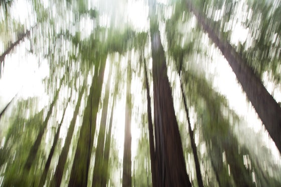 Image of Redwood Forrest #2