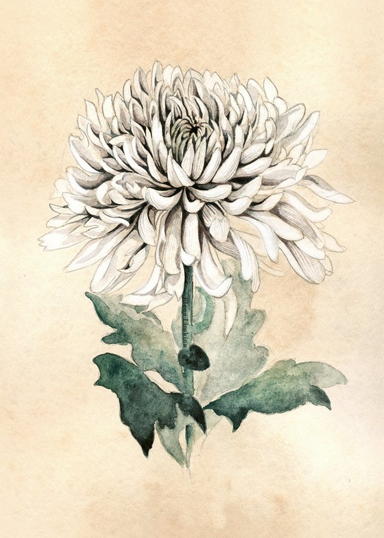 Image of White chrysanthemum
