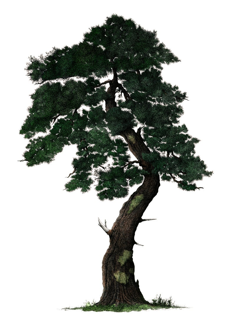 Image of White pine tree