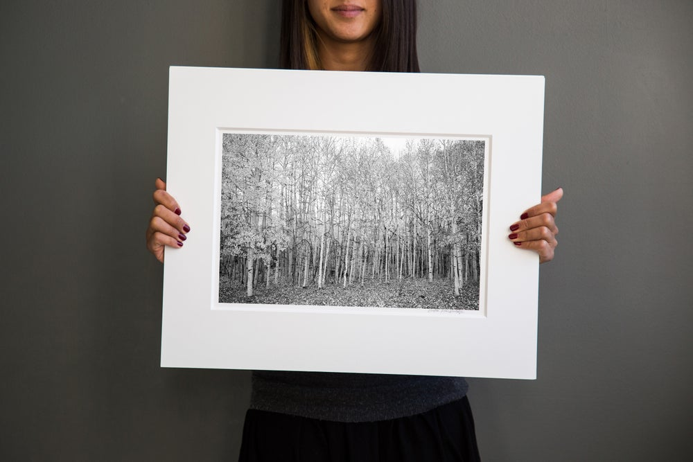 Image of Aspen Trees