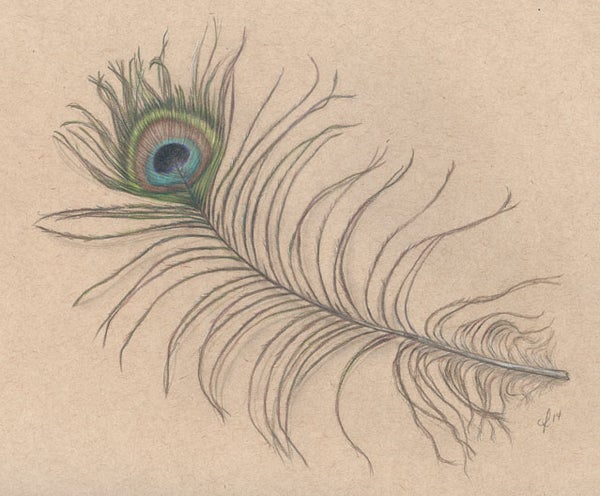 Image of Peacock feather study - Original Matted Drawing 11x14