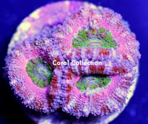 Image of Broken Heart Acan
