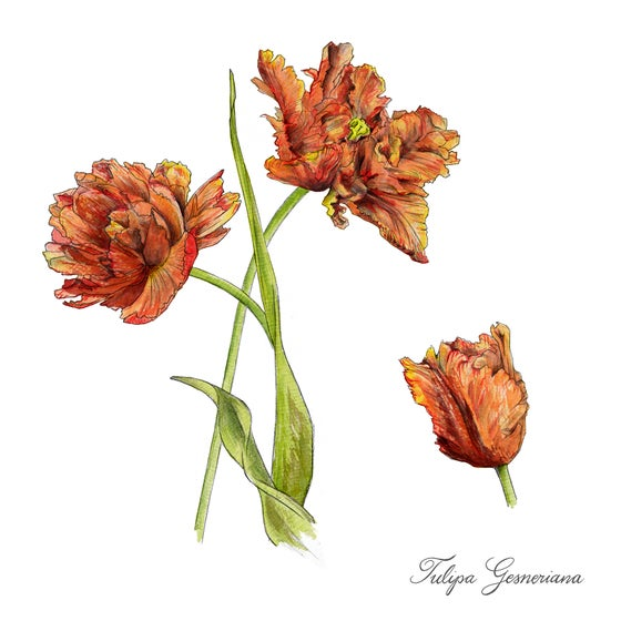 Image of Orange Tulip - Limited Edition Print