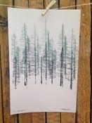 Image of Black Spruce