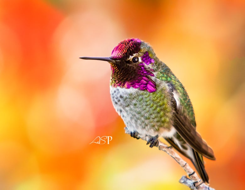 "Image of ""Hummingbird In Autumn"" Museum Print"