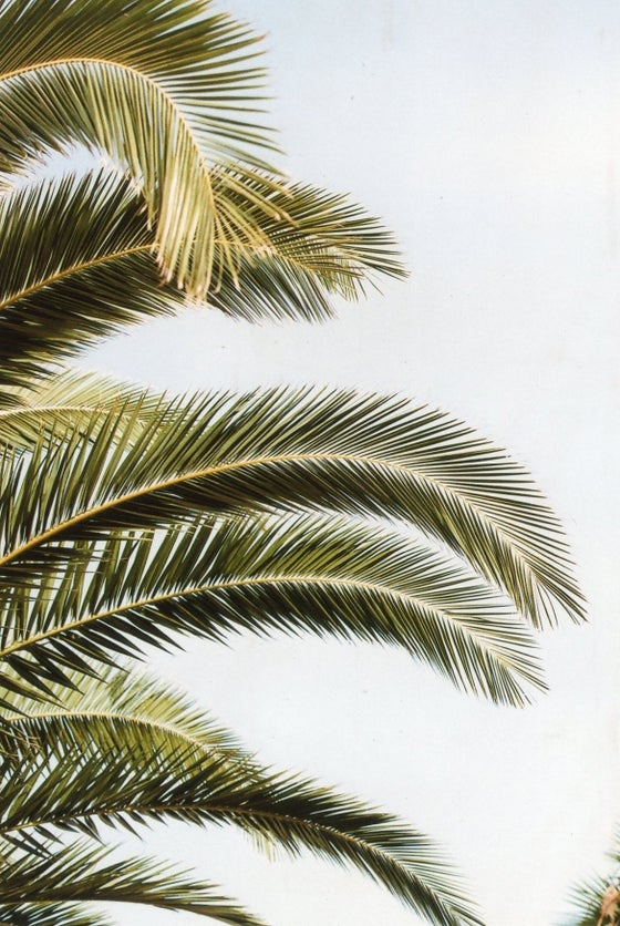 Image of Palm Tree II