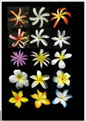 Image of SAMOAN SEI / FLOWER