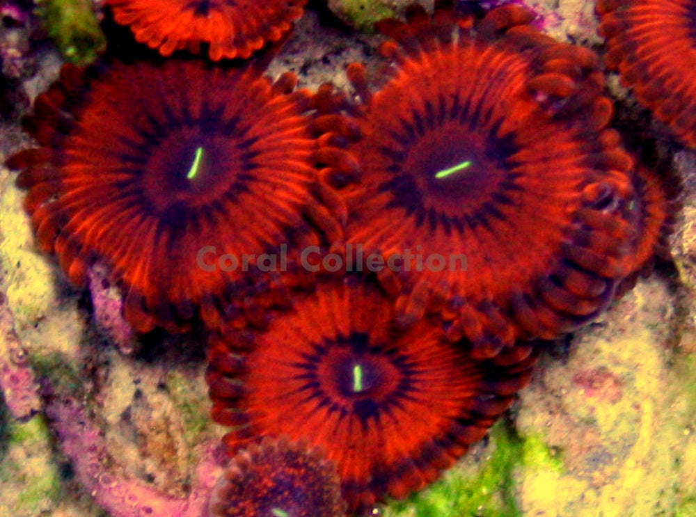 Zoas and Palys / Coral Collection