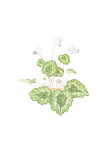 Image of Cyclamen Limited Edition Print