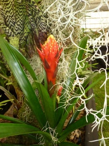 Image of Guzmania 'torch'