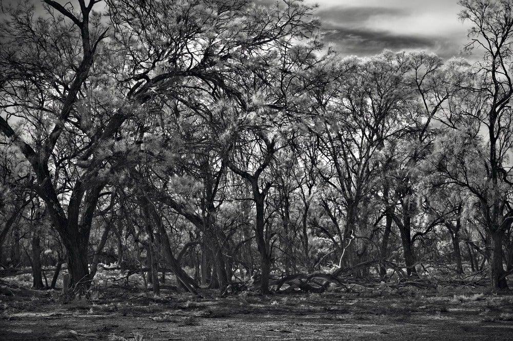 Image of Belah Woodland, Mungo National Park, NSW