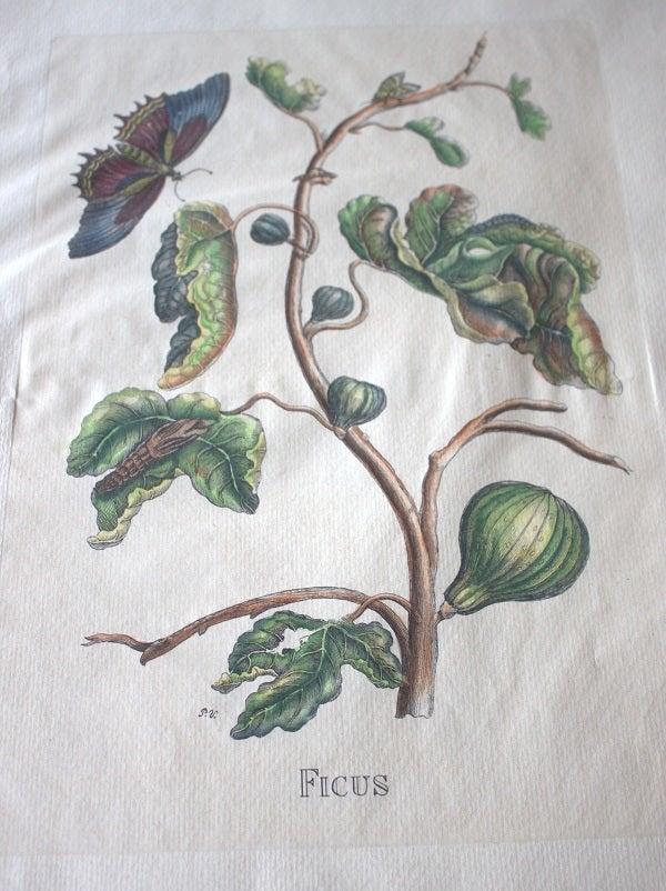 Image of Old Swedish Botanical Engraving (Framed)