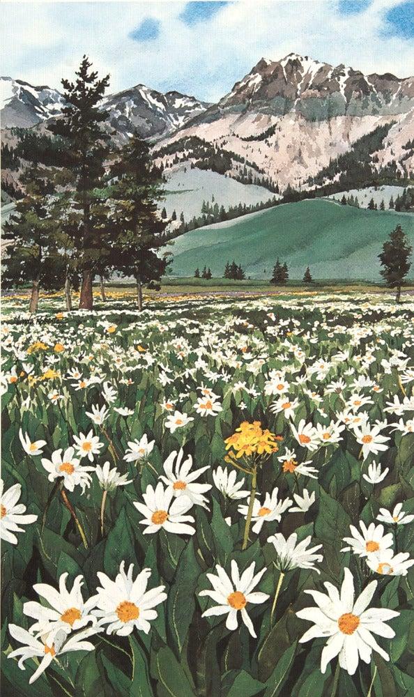 Image of Mountain Daisies