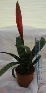 Image of Vriesea splendens