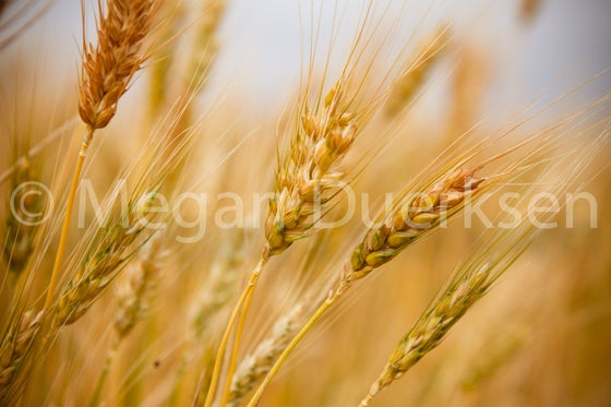Image of Wheat Print