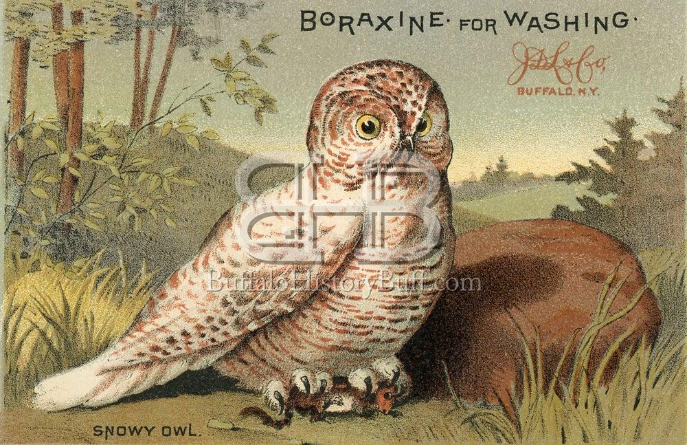 Buffalo History Buff Boraxine Snowy Owl