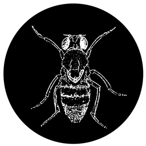 Image of Wingless Drosophila