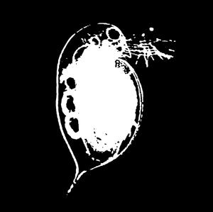 Image of Daphnia Magna