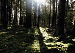Image of In to the woods