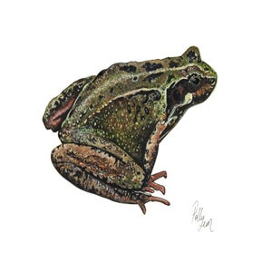 Image of Common Frog - original watercolour and gouache painting
