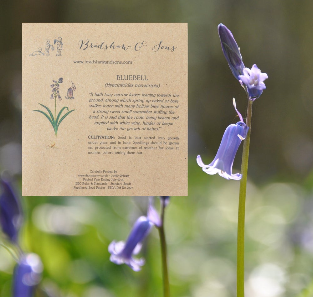 Image of Bradshaw & Sons Bluebell Seeds