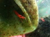 Image of Metabetaeus lohena, Or Alpha Opae Ula Anchialine Shrimp