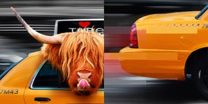 Image of Taxi Passenger - Highand Cow In New York