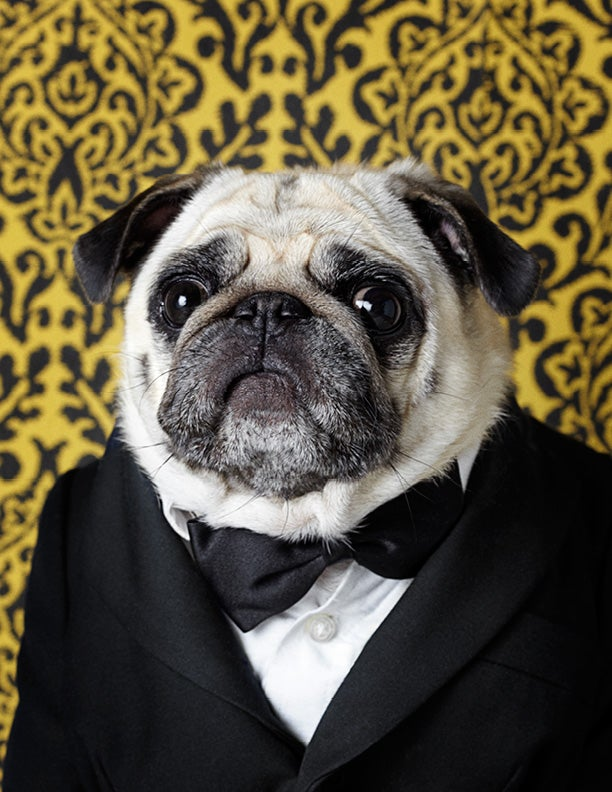 Image of Sydney 1 - Pug - Archival Digital C-Print