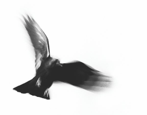 Image of Taos Dark Bird