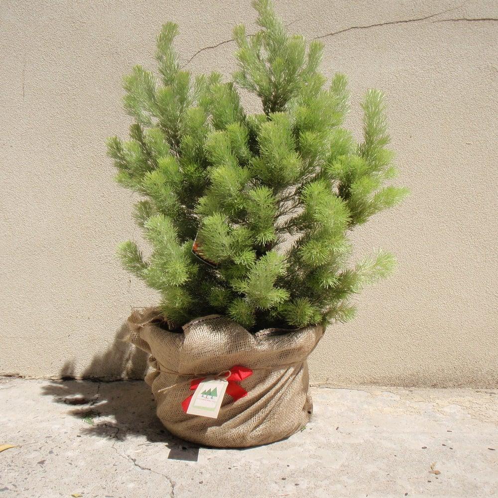 christmas tree in hessian bag
