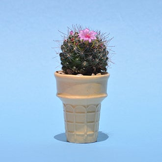 Image of Prickly Cone
