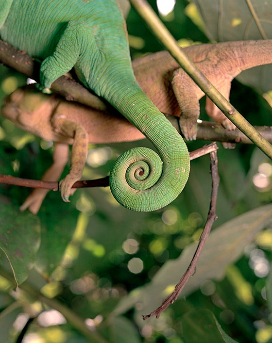 Image of Chameleon Tail, Madagascar, by Brown Cannon III