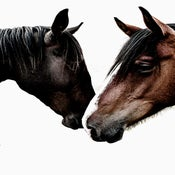 Image of Limited Edition Wild Horses Photographic Print