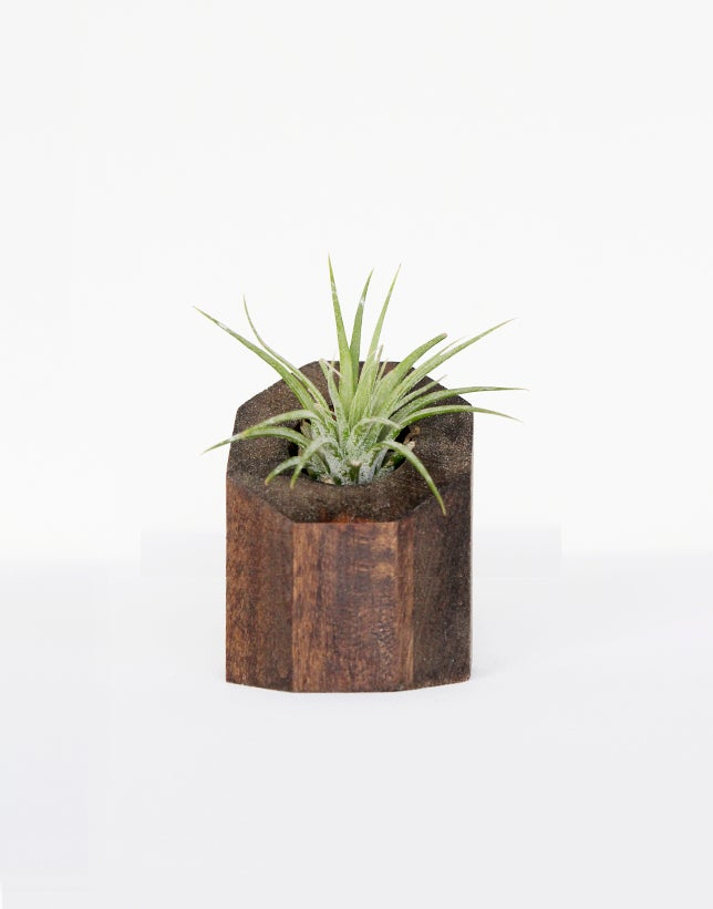 Image of Air Plant Holder - Octagon Dark - <i>Plant Included</i>