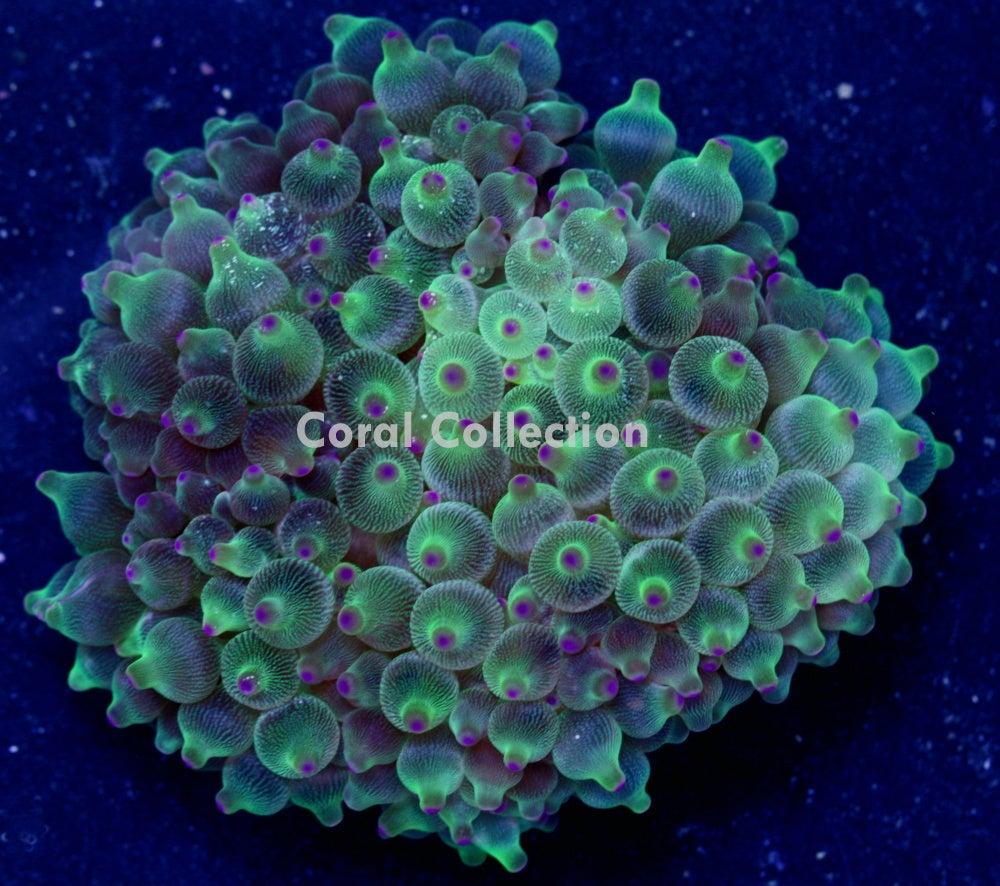 Image of CC Green Grape BTA