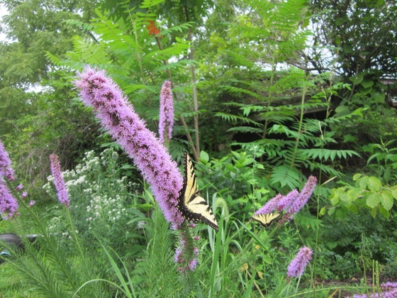 Image of Spiked Blazing Star Plant (Native Perennial)